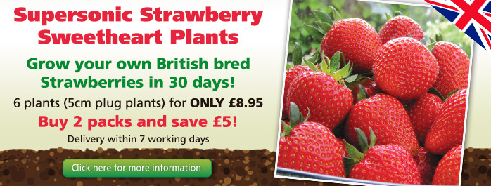 Supersonic Strawberry Sweetheart Plants